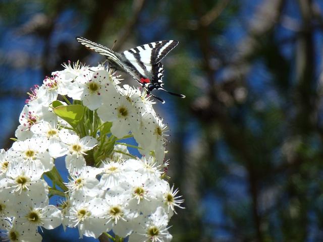 Butterfly on Barnett pair tree blossom