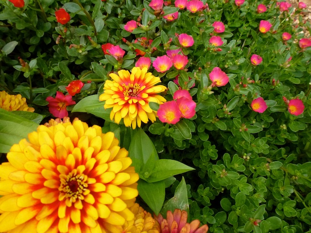 Dahlias & pursulane