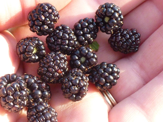 A few blackberries for me