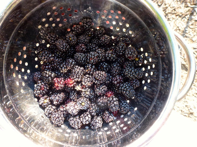 Blackberries to go 7:2012