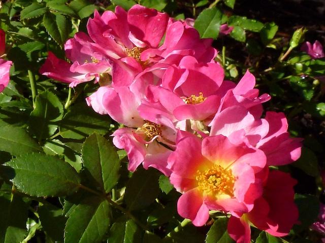 Low rose bush 7:3:12