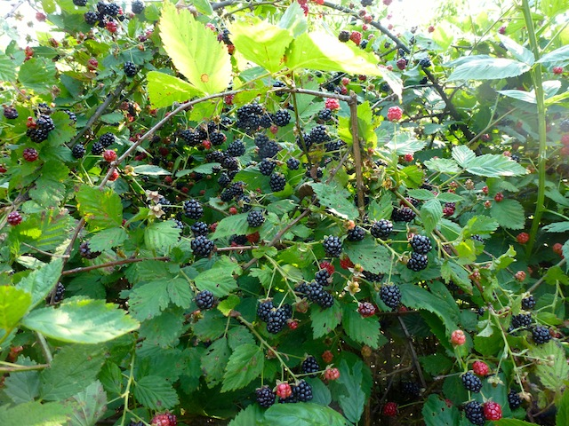 Blackberries 7:2012