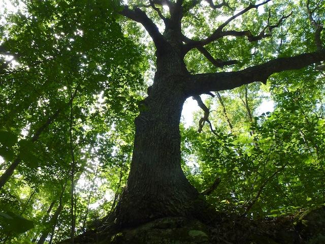 Big tree 7:2012