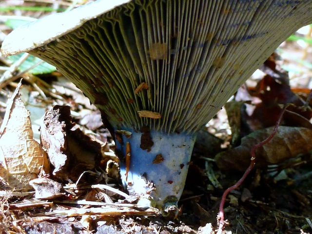 Blue mushroom - base