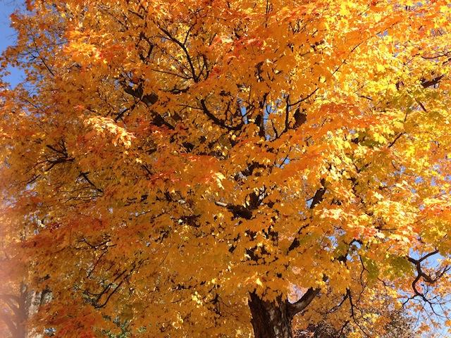 Glorious yellow fall 2012